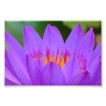 Fleur pourpre de fleur de nénuphar photographes