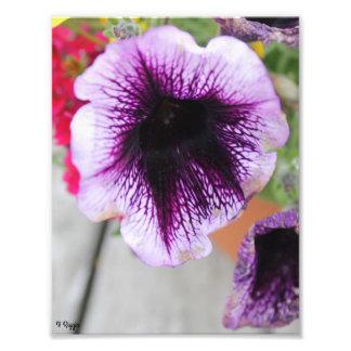 Fleur pourpre et blanche d'élargissement de photo