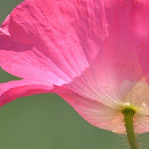 fleur rose de pavot d 39 islande photo en d coupe zazzle. Black Bedroom Furniture Sets. Home Design Ideas