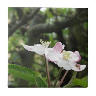 Fleur rose de pomme au printemps. La Toscane, Petit Carreau Carré