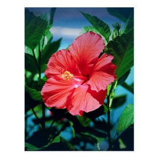 Fleur rouge de ketmie carte postale