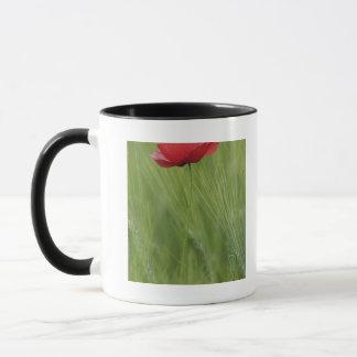Fleur rouge de pavot parmi la culture de blé, tasses