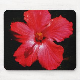 Fleur rouge-rose chaude de ketmie sur le noir