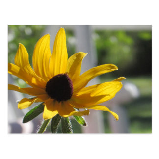 Fleur sauvage Noir-Eyed jaune de Susan Carte Postale