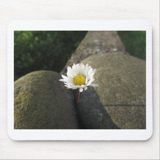 Fleur simple de marguerite blanche entre les tapis de souris