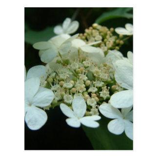 Fleurs blanches carte postale