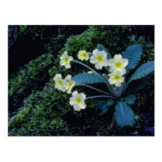 fleurs blanches de primevère carte postale