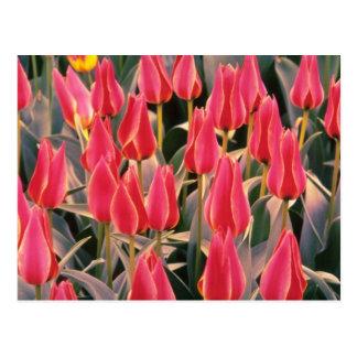 Fleurs blanches de tulipes de Greigii Cartes Postales
