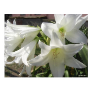 Fleurs blanches glorieuses 5 cartes postales