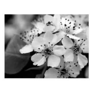 Fleurs de cerisier noires et blanches carte postale