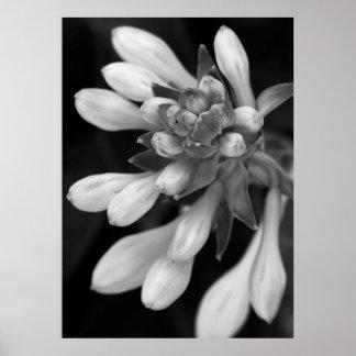 Fleurs de Hosta Posters
