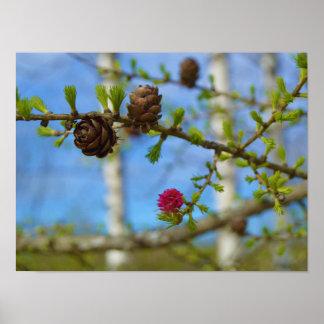 Fleurs de mélèze posters