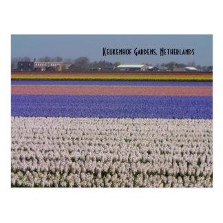 Fleurs de Pays-Bas Carte Postale
