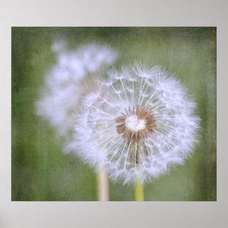 Fleurs de pissenlit affiche