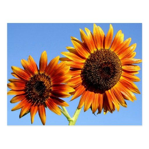 Fleurs incroyables de tournesol de beauté d'automn carte postale