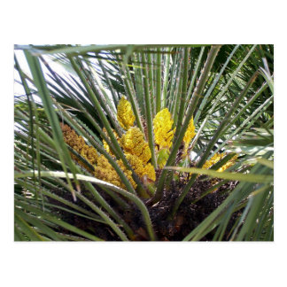 Fleurs jaunes parfumées de palmier carte postale
