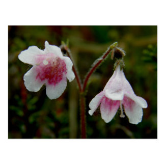 Fleurs jumelles de fleur, île d'Unalaska Carte Postale