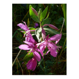 Fleurs naines de Fireweed, île d'Unalaska Carte Postale