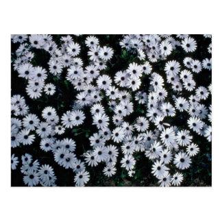 Fleurs Noir-Eyed de marguerites blanches Carte Postale
