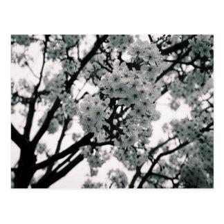 Fleurs noires et blanches cartes postales