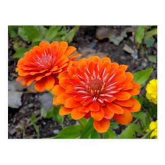 Fleurs oranges de Zinnia Cartes Postales