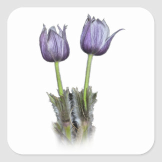 Fleurs pourpres de crocus sticker carré