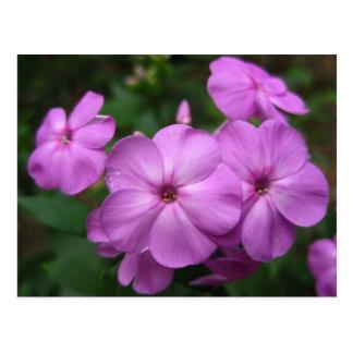 Fleurs pourpres de Phlox Cartes Postales