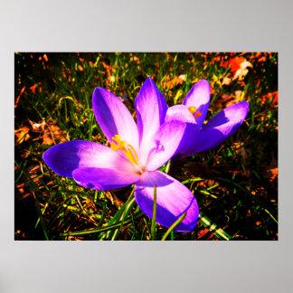 Fleurs pourpres de ressort poster