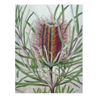 Fleurs roses d'occidentalis de Banksia Carte Postale