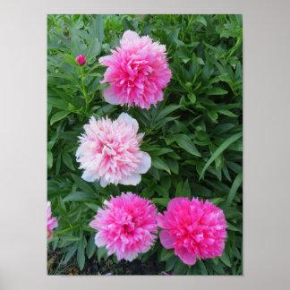 Fleurs roses lumineuses de pivoine poster