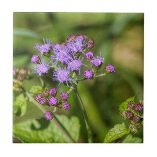 Fleurs sauvages pourpres d'Ageratum Petit Carreau Carré