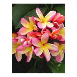 Fleurs tropicales de Plumeria rose et jaune Cartes Postales