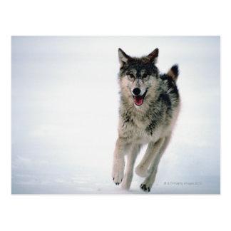 Fonctionnement de loup gris carte postale