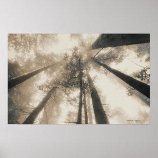 Forêt de séquoia, la Californie du nord Affiche