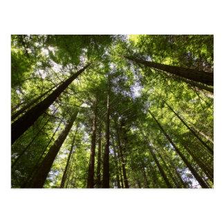 Forêt de séquoia, Rotorua, Nouvelle Zélande 2 Carte Postale