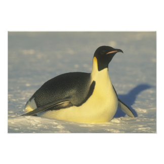 Forsteri de pingouin, d'Aptenodytes d'empereur), Tirage Photo