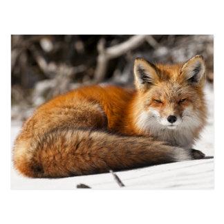 Fox rouge dans la neige cartes postales