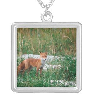 Fox rouge, vulpes de Vulpes, péninsule de Pendentif Carré
