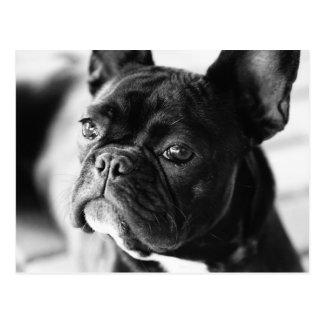 Français Bulldog Carte Postale