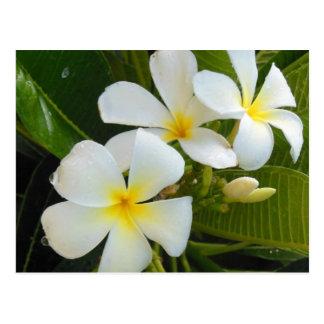 Frangipani Hawaï de Plumeria Carte Postale