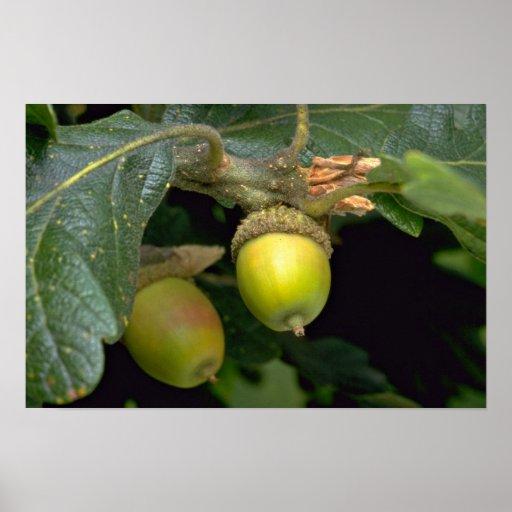 Fruits arboricoles de chêne de Gary (garryana de q Affiches