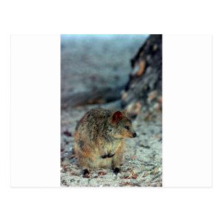 Fureur mignonne Quokka sur l'île de Rottnest Carte Postale