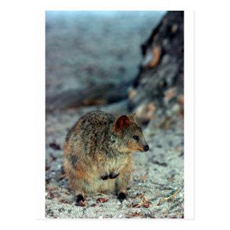 Fureur mignonne Quokka sur l'île de Rottnest Cartes Postales