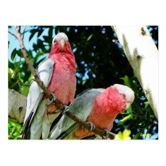 Galahs (Breasted rose/cacatoès roses) Carte Postale