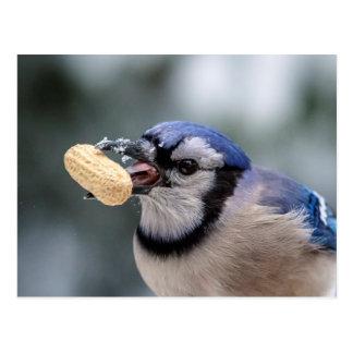 Geai bleu avec une arachide carte postale