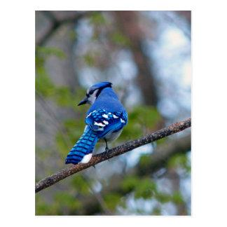Geai bleu carte postale