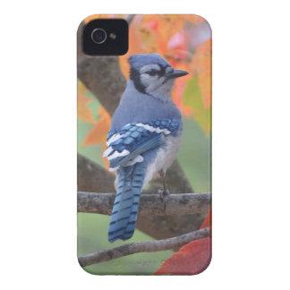 Geai bleu coques iPhone 4