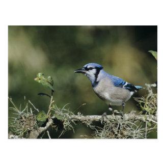 Geai bleu, cristata de Cyanocitta, adulte, San Carte Postale