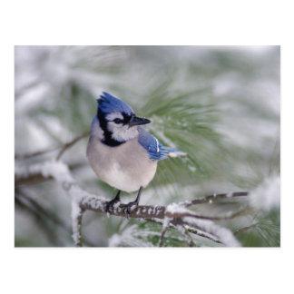 Geai bleu, cristata de Cyanocitta Carte Postale