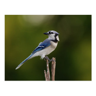Geai bleu, cristata de Cyaoncitta Carte Postale